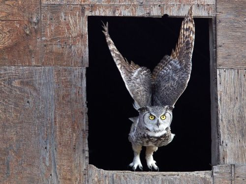 funkysafari:  Horned Owl, Saskatchewan by Robert Postma  Fine owl.