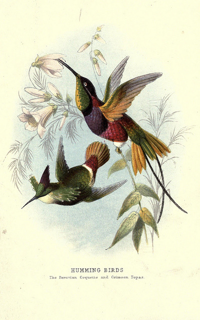 jomobimo:  Peruvian Coquette and Crimson Topaz hummingbirds, 1872