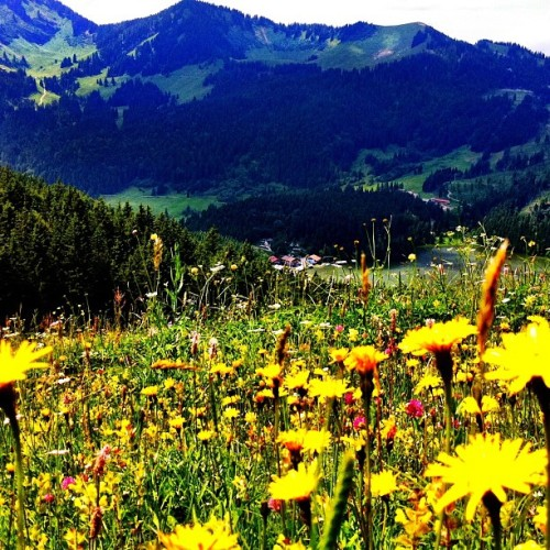 Wild flowers in the German #Alps #mountains #flowers  (Taken with Instagram)
