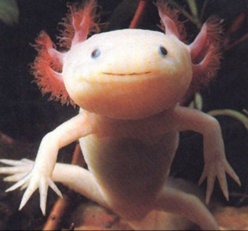 dontstopfangirling:  The smiling salamander!