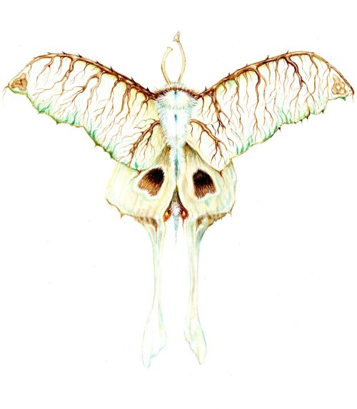 skull and thorns moth, gouache, 2012 wendy wallin malinow inkhead