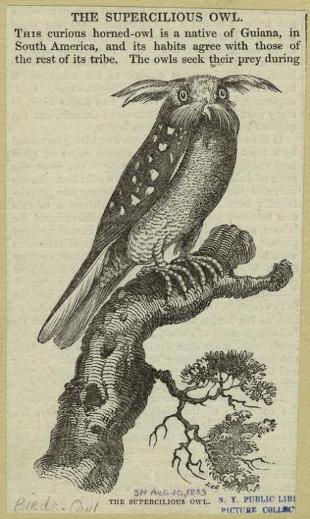 unnaturalist:  There's no owl like a supercilious owl.