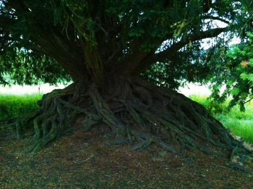 Yew Tree taken by xwidep
