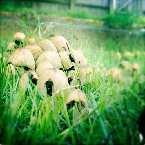 saffsmith:  Shrooms in the garden. Not the interesting kind.