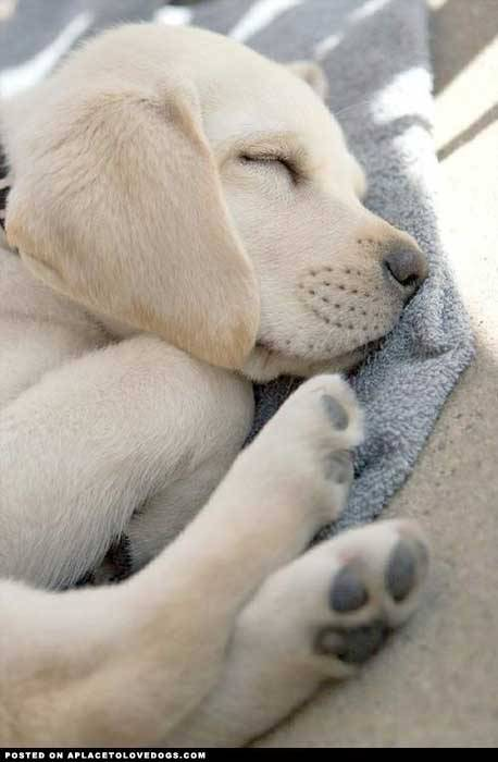 aplacetolovedogs:  pinterest Sleeping yellow Lab puppy, so sweet :) Original Article