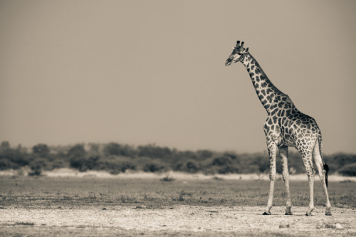 Giraffe On The Pan by Mario Moreno