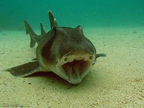 fyeah-seacreatures:  Port Jackson Shark. (richard ling) They have the coolest mouths.