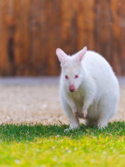 theanimalblog:  Rare white kangaroo (by Tambako the Jaguar)
