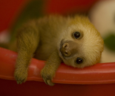 zoearcher:  Tiny sloth for your Wednesday.