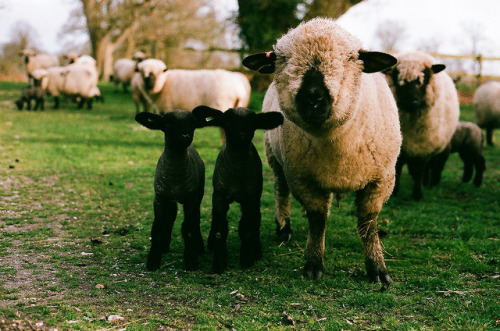 easternbreezes:  Sheep are the most delightful creatures.