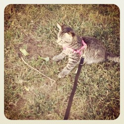 Soooo cute with his little harness #walking #the #cat #kitty #kitten #leash #walk #animal #cute #cuteness #baby #pink #green (Taken with Instagram)