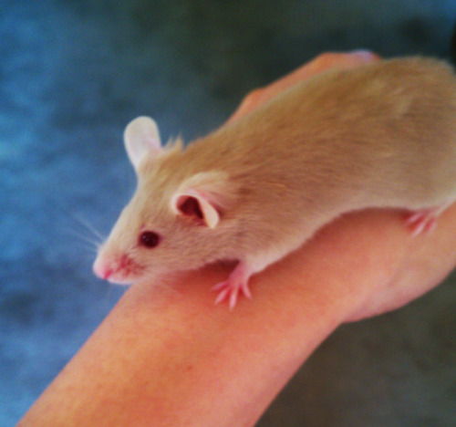 My mouse Jareth