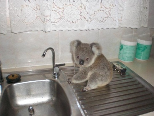 theclearlydope:  Half of my pay check will be used to hire a Koala to do my dishes nightly. Worth it.  bunnyfood:  (via technohell:Cutest Paw)