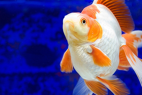 fuckyeah-goldfish:  15 by Doublechin on Flickr.