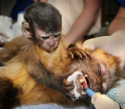 lickystickypickywe:  Chequita, a baby capuchin monkey, cuddles her mother Cassie while she has an operation on her hand at Melbourne Zoo, Australia