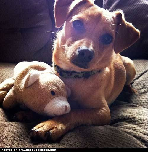 Submitted by Rainy E: This is Navi and her bear which shes had since she was born on August 23 2011! She is just the sweetest little dog i've had the pleasure of welcoming into our family