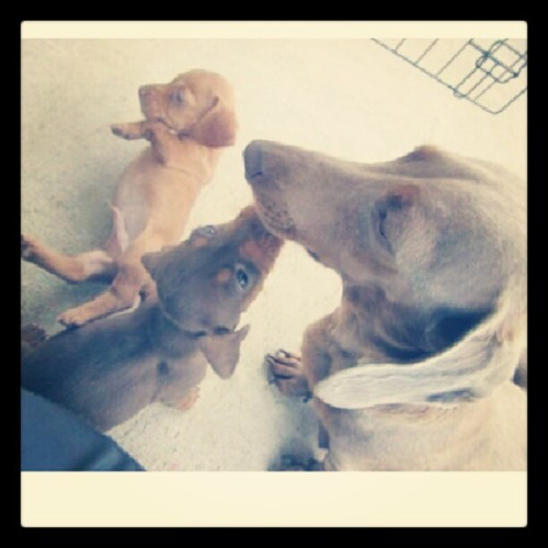 ohhh4l3y:  Look at the little grey one!!! <3 #pupsofinstagram #mini #dachshund #adorable #puppy  (Taken with Instagram)