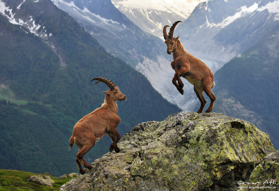 Mountain Ibex - Chamonix, French Alps by orvaratli on Flickr.