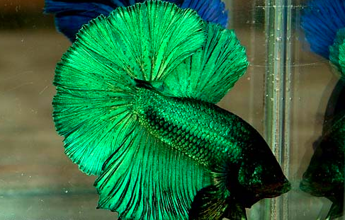 What a gorgeous green metallic betta fish!