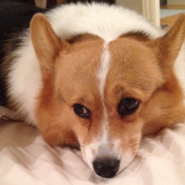 Pensive #corgi #cute #love #petstagram #corgistagram #dog #photooftheday #iger (Taken with Instagram)