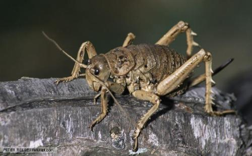 Giant Weta Crickets (Deinacrida spp.) The giant wetas are the world's heaviest insects. The heaviest ever recorded was a female that weighed 71g (2.5oz). That's three times the weight of an average house mouse. In fact, wetas are the insect equivalent of mice. They evolved in the small rodent niche because in New Zealand there were no mice to compete with and no nocturnal mammalian predators to hunt them. (via: BBC Nature)       (photo: Peter Reese)