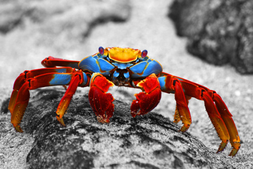 "Galapagos Islands A Sally Lightfoot Crab on Espanola Island The crab Grapsus grapsus (known variously as ""red rock crab"", ""abuete negro"", and, as ""Sally Lightfoot"") is one of the most common crabs along the western coast of South America. It can also be seen along the entire coast of Central America and Mexico, and nearby islands. It is one of the many charismatic species that inhabits the Galápagos Islands, and is often seen in photos of the archipelago, sometimes sharing the seaside rocks with the marine iguanas. The Sally Lightfoot is a typically-shaped crab, with five pairs of legs, the front two bearing small, blocky, symmetrical chelae. The other legs are broad and flat, with only the tips touching the substrate. The crab's round, flat carapace is just over 8 cm (3 inches) in length. Young Sally Lightfoot's are black or dark brown in color and camouflage well on the black lava coasts of volcanic islands. Adults are quite variable in color. Some are muted brownish-red, some mottled or spotted brown, pink, or yellow. Sally Lightfoot crabs are thought to have been named for a sultry nightclub dancer from Guayaquil, whose alluring performances in her red and yellow dress, captivated 19th century sailors. This crab lives amongst the rocks at the often turbulent, windy shore, just above the limit of the seaspray. It feeds on algae primarily, sometimes sampling plant matter and dead animals. It is a quick-moving and agile crab, and hard to catch, but not considered very edible by humans. It is used as bait by fishermen."