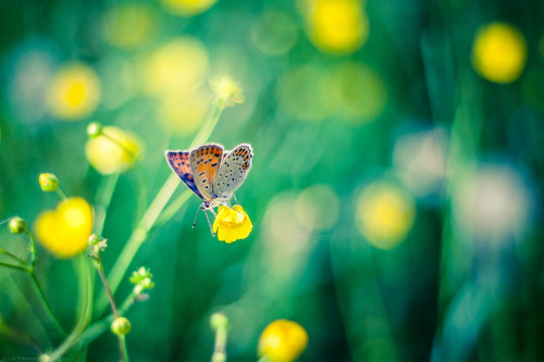 Two Moon Butterfly [explored] (by ICEMAN's Photos)
