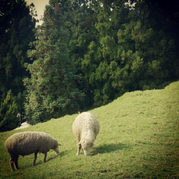 #Taiwan #taichung #cingjing #animal #farm #grass #sheep (Taken with Instagram)