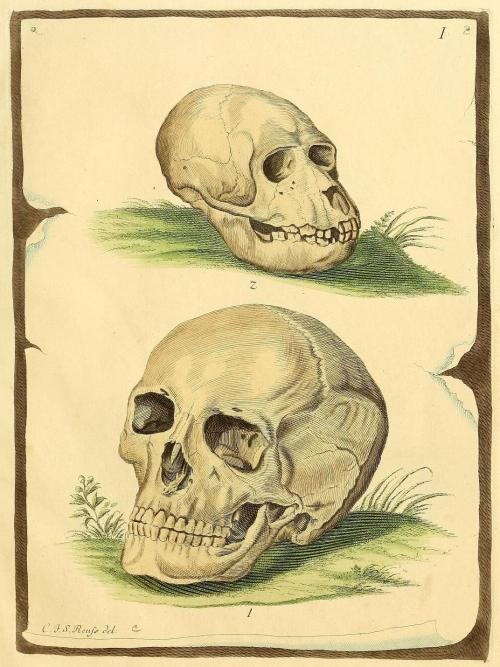biomedicalephemera:  Skull of juvenile Bornean orangutan (top) compared to adult Homo sapiens Like most great apes, Bornean orangutans (Pongo pygmaeus) have large, sharp, canine teeth. However, these do not grow in until the juvenile orangutan loses its milk teeth, a couple years after weaning (typically between 4-6 years of age). You can see the evolutionary differences in diet between orangutans and humans, simply by looking at the teeth and shape of the skull. The orangutan has large, broad molars, sharp incisors, and mandibular musculature that has a very broad attachment point on the skull. Bornean orangutans are generally vegetarian, feeding on leaves, berries, and even bark at times. The broad molars are necessary for grinding and breaking down roughage in their diet. While the human skull given is not the best example, we have smaller molars, weaker mandibular muscles, and fairly dull incisors and canines. Homo sapiens evolved as strict omnivores, but with a very distinct difference from our more simian (and even most of our hominid) ancestors - we cooked our food. Though the roughage early humanity consumed was much tougher than what we eat today (unless you eat roots and nutmeats as a primary diet), cooking foods such as meats and roots broke them down before we ate them. Our skulls required less space for jaws and jaw muscles, and we required less energy to eat than ever before. Die Säugthiere in Abbildungen nach der Natur. J.C.D. Schreber, 1774.