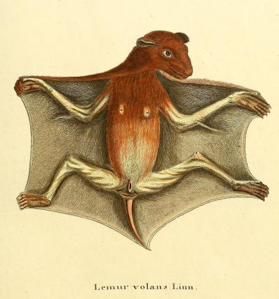 Lemur volans (now Cynocephalus volans) - The Philippine flying lemur It's not a lemur, and it can't fly. It's a colugo.  It's a colugo who is clearly into flashing humans. Die Säugthiere in Abbildungen nach der Natur. J.C.D. Schreber, 1774.