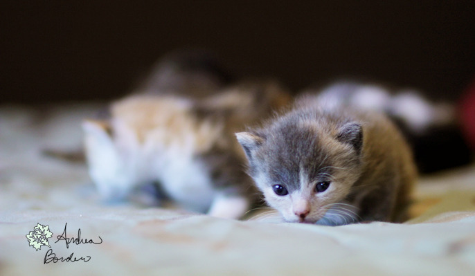 "For this week's weekly cuteness I present to you: KITTENS!!! Itty bitty kittens!  This was all shot in natural light and took around 5 minutes for Mama cat to say that enough was enough and carry them back to their corner.   I hope soon I can go take more photos of them, I didn't have much time yesterday,  and if I had known I was going to experience cuteness overload on my camera, I definitely would have brought in a reflector to get a little more light on them.   I met these little sweeties when I was asked to check up on a friend's house before work, I couldn't resist taking a couple photos. I just love how curious they were! As I understand it, once they're old enough, they're going to need good homes. I wish I could take one! So here's all they are, in all their ""aww"" glory! Happy Wednesday!!"