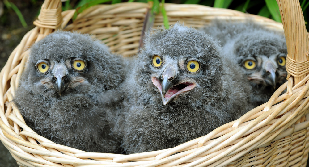 Snowy owlets have a hoot of a time at Hanover ZooAnd now you can just die of cute.