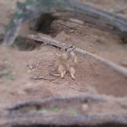 #Meerkat just chilling around. #cute #animal (Taken with Instagram)
