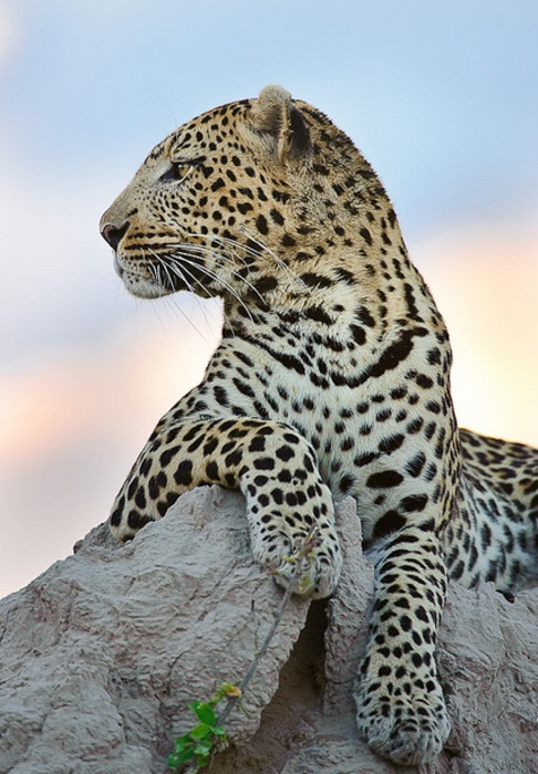 Leopard at Dusk (by David Lloyd Wildlife Photos)