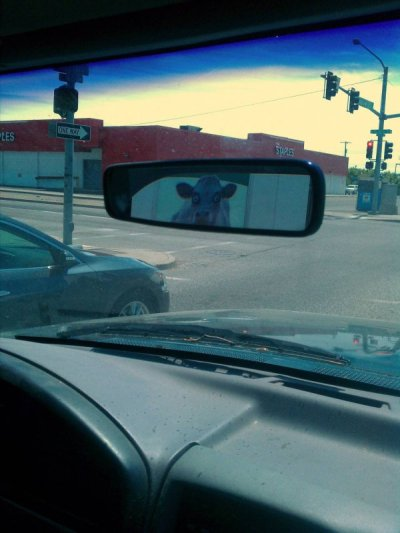 collegehumor:  Creepy Cow in Rear View Mirror I told you not to touch my udders.