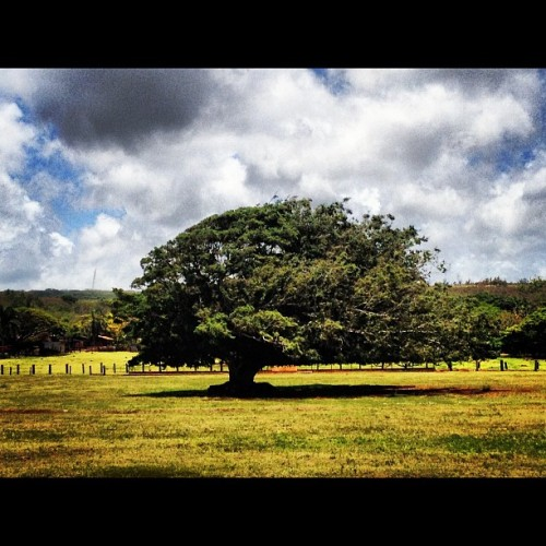The tree from LOST where Kate buries the model plane! #lost #4815162342 (Taken with Instagram)