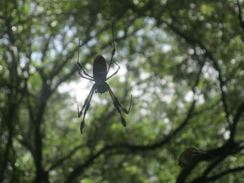Banana spiders everywhere, might I say, some of the biggest I've ever seen .__.