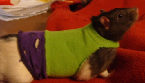 So, my housemate made Avengers costumes for her pet rats. Behold, the Rat-vengers: Iron Rat, Captain Rat-merica, the Incredible Rat-Hulk, and Rat Thor.