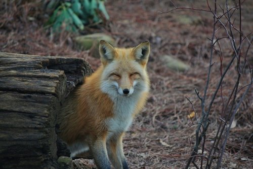 the-absolute-best-posts:  llbwwb: Smiling Fox by ~GDLMPhotography Follow this blog, you will love it on your dashboard