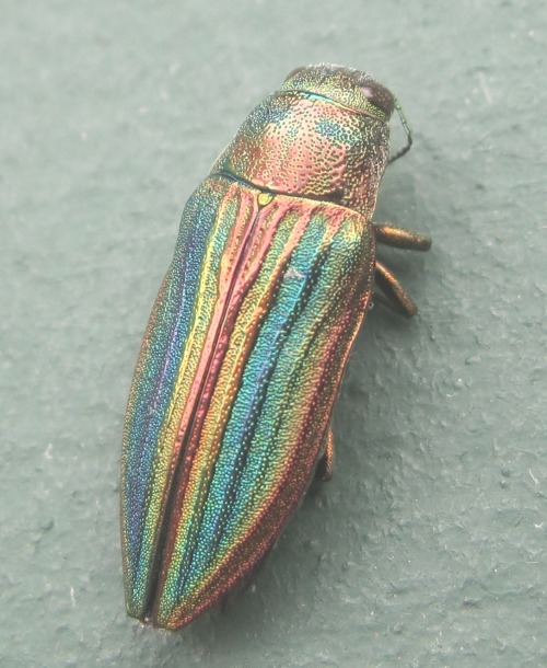 therese86:  Rainbow Beetle
