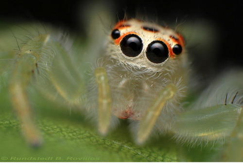 "Jumping spiders are known for their curiosity. If approached by a human hand, instead of scuttling away to safety as most spiders do, the jumping spider will usually leap and turn to face the hand. Further approach may result in the spider jumping backwards while still eyeing the hand. The tiny creature will even raise its forelimbs and ""hold its ground"". Because of this contrast to other arachnids, the jumping spider is regarded as inquisitive as it is seemingly interested in whatever approaches it."