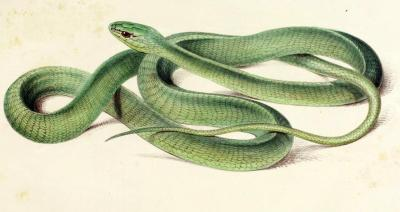 "Dyspholidus typus - The Boomslang Though it belongs to the same family as king snakes and the most common ""grass snakes"", the boomslang is one of the few members of Colubridae to possess a venom that's legitimately dangerous to humans, and the fangs that are able to inject it (some members of the family have venom, but weak fangs). In fact, the fangs of the boomslang are some of the broadest and most deeply-grooved in the snake world. The venom of the boomslang is hemotoxic. That means that the proteins in the venom affect the blood of the victim, and in the case of the most common hemotoxin in boomslang venom (phospholipase A2, if you're wondering), it causes red blood cells to rupture. Given enough time with this toxin floating around in the bloodstream, the significant thinning of the blood allows it to flow out of the capillary walls, and can flow out of any part of the body where capillaries are particularly close to the exposed surface. In other words, if you're bitten by a boomslang and don't seek help right after being bitten, you'll likely end up bleeding out from your nose, eyes, mouth, ears, and genital orifices. Because of the significant blood loss associated with a wait of more than 48 hours between bite and antivenin administration (phospholipases are fairly slow-working, compared to neurotoxins and cardiotoxins), full blood transfusions are sometimes needed, to replenish the plasma, red blood cells, and platelets that were lost in the bleed-out. Illustrations of the Zoology of South Africa. Andrew Smith, 1888."