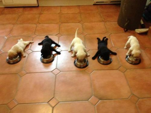 Wow they barely know how to stand yet but they love food. True Labradors.
