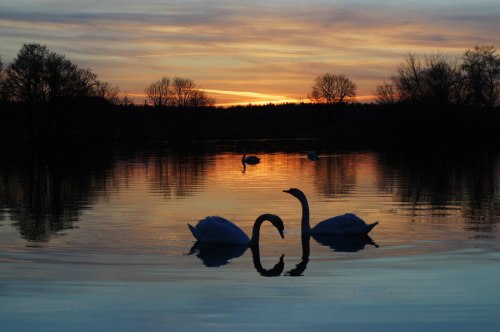 art-and-dream:  Animal photography by Elin4ik  Swan Lake at night