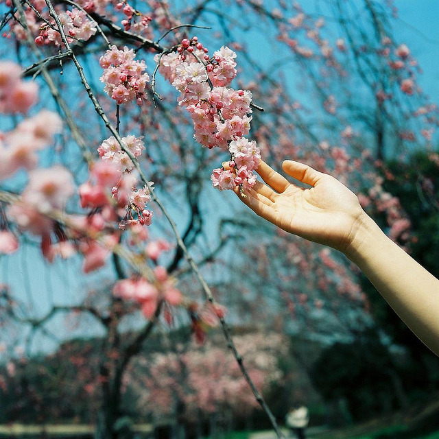 sakura by chant0m0 on Flickr.