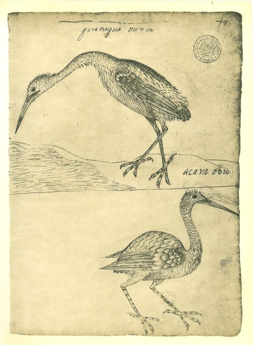 "From ""Historia dos animais e árvores de Maranhao"" probably written between 1625 and 1631 by  Frey Cristovao de Lisboa:  Snowy Egret  (Egretta thula) and Little Blue Heron  (Egretta caerulea)."