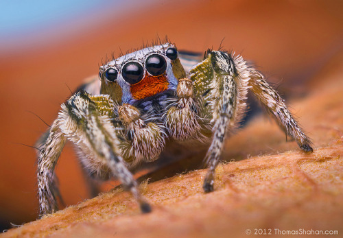 Male Habronattus virgulatus Jumping Spider - Arizona by Thomas Shahan on Flickr.