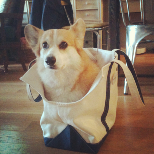 Corgi in a bag…