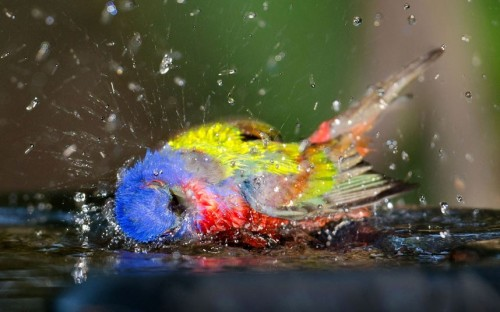A painted bunting has a splashing good time in a bird bath at Jekyll Island, Georgia.  Picture: Geoff Powell/Caters