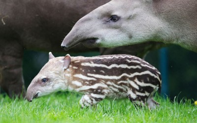 Tapir mother Rio with her newborn calf at Dublin Zoo.Picture: Patrick Bolger/Caters